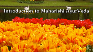Introduction to Maharishi AyurVeda * Orange and red tulips with lake, swans, and grassy bank in background